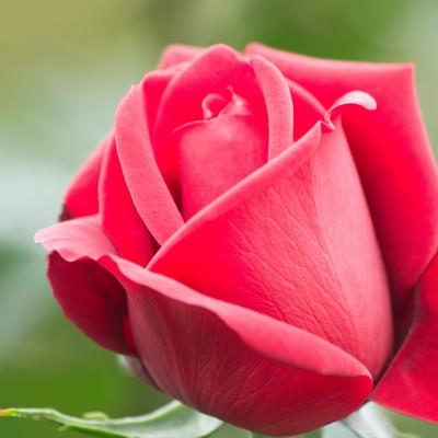 コンラッドヘンケル(薔薇)の写真