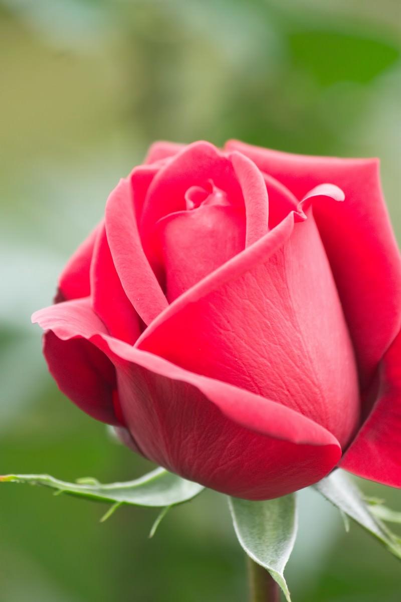 「コンラッドヘンケル(薔薇)」の写真