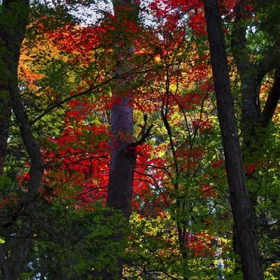 「紅葉の赤と緑」の写真素材