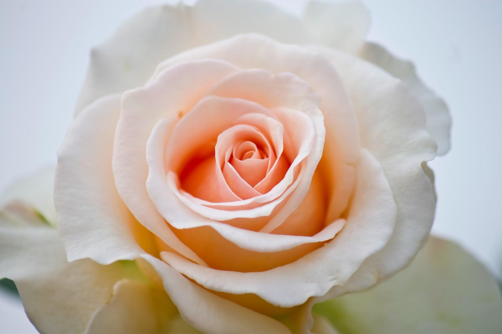 「クリームデライト(薔薇)」の写真