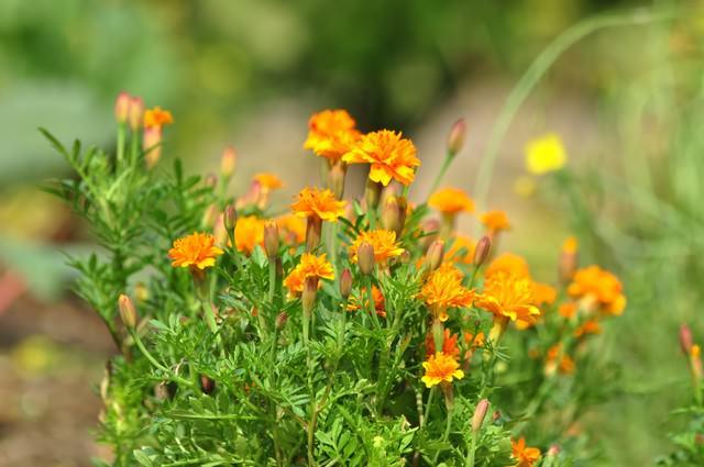 ひっそりと咲くマリーゴールドの写真
