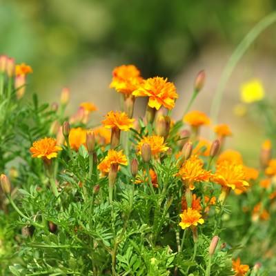 「ひっそりと咲くマリーゴールド」の写真素材