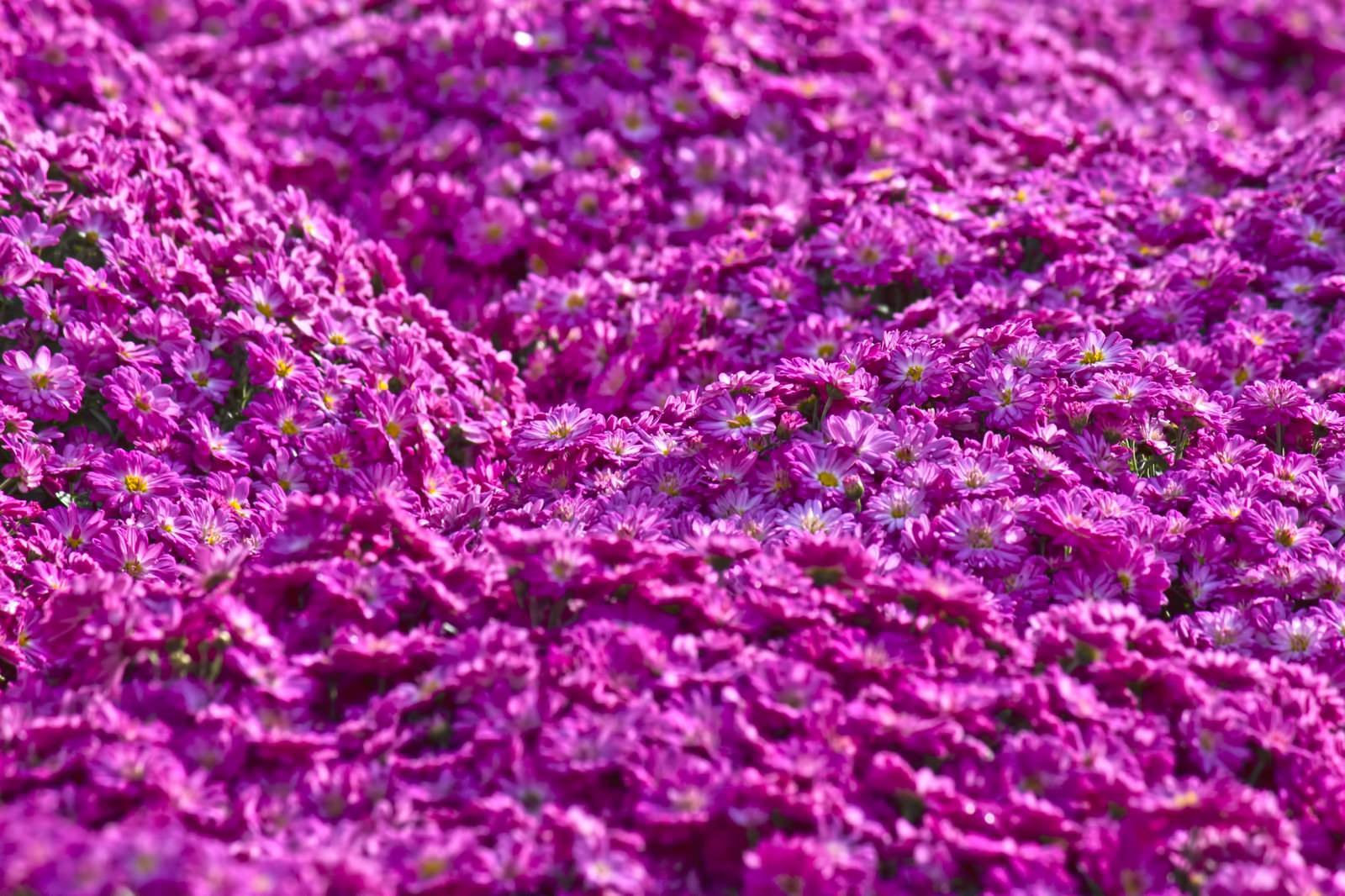 「紫色のマイクロマム(菊)」の写真