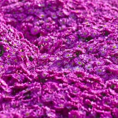 「紫色のマイクロマム(菊)」の写真素材