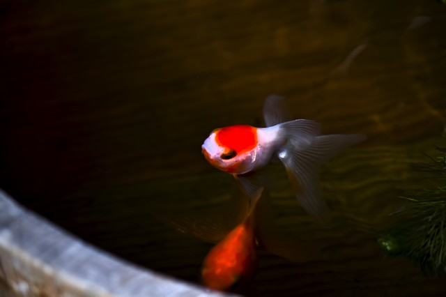 桶の中を泳ぐ金魚の写真