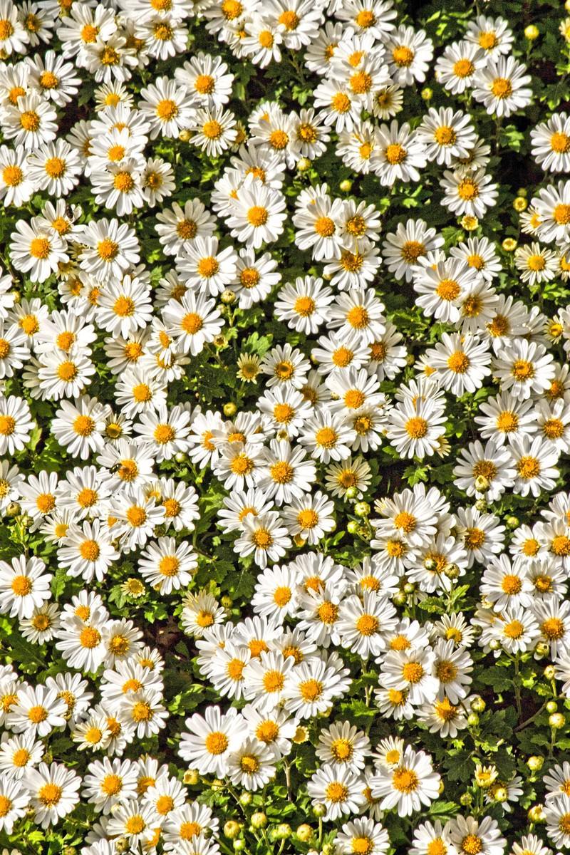 「セイアルプスの菊」の写真