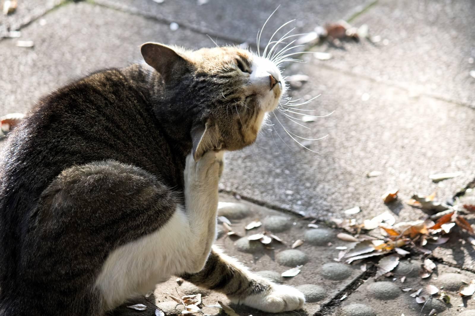 「首を掻く猫首を掻く猫」のフリー写真素材を拡大