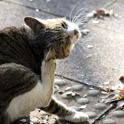 「首を掻く猫」の写真素材