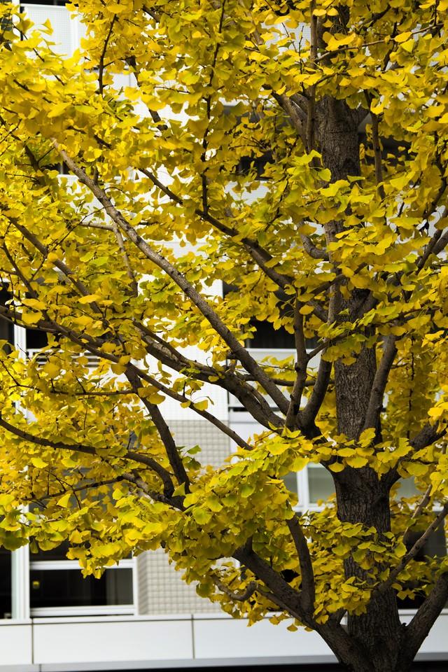 黄葉した銀杏の木の写真