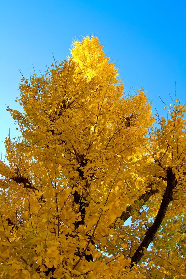 青い空と黄色い銀杏の写真