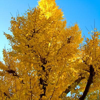 「青い空と黄色い銀杏」の写真素材