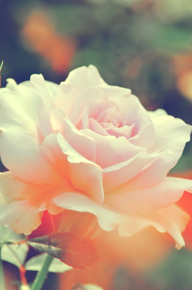 淡いピンク色の薔薇(ステンレススチール)の写真