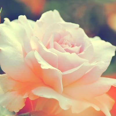 「淡いピンク色の薔薇(ステンレススチール)」の写真素材