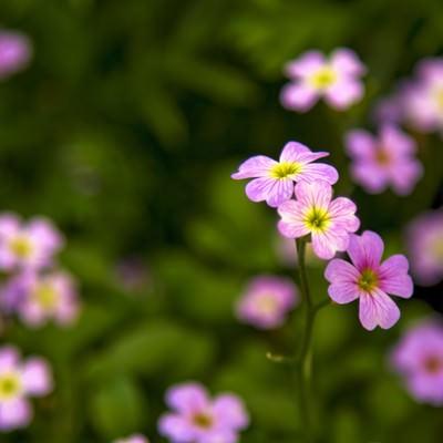 「小さく咲くピンクの花」の写真素材