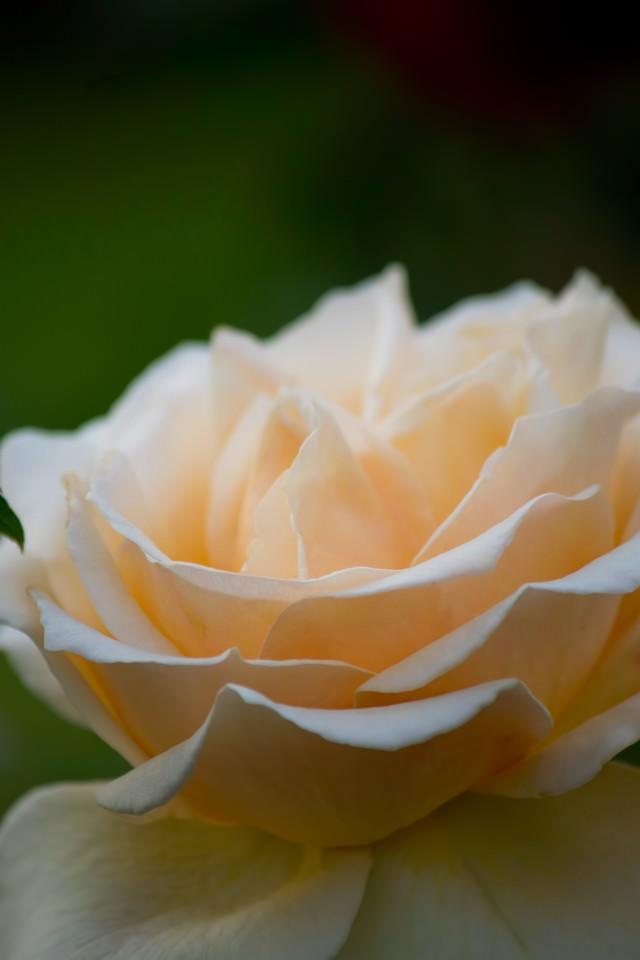 クリームデライト(薔薇)の写真