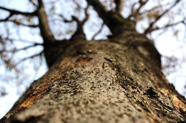 冬の樹木を見上げるの写真