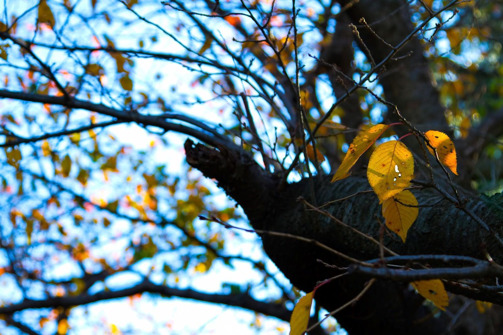 「今にも散りそうな枯葉」の写真