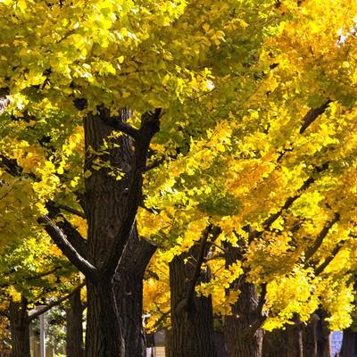 黄葉した銀杏並木の写真