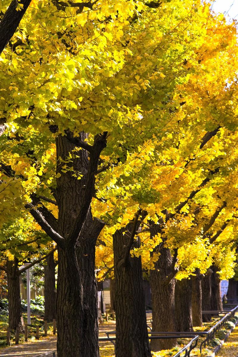 「黄葉した銀杏並木」の写真