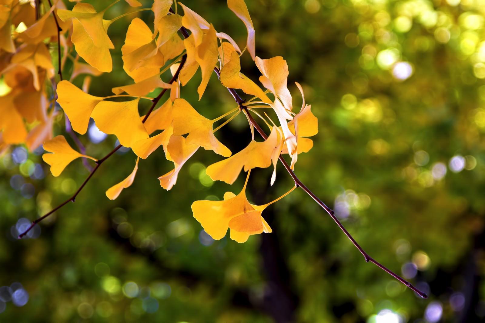 「黄色い銀杏の葉」の写真
