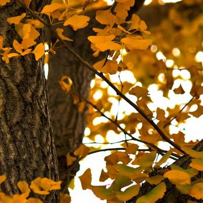 「黄色く紅葉した銀杏の木と葉」の写真素材