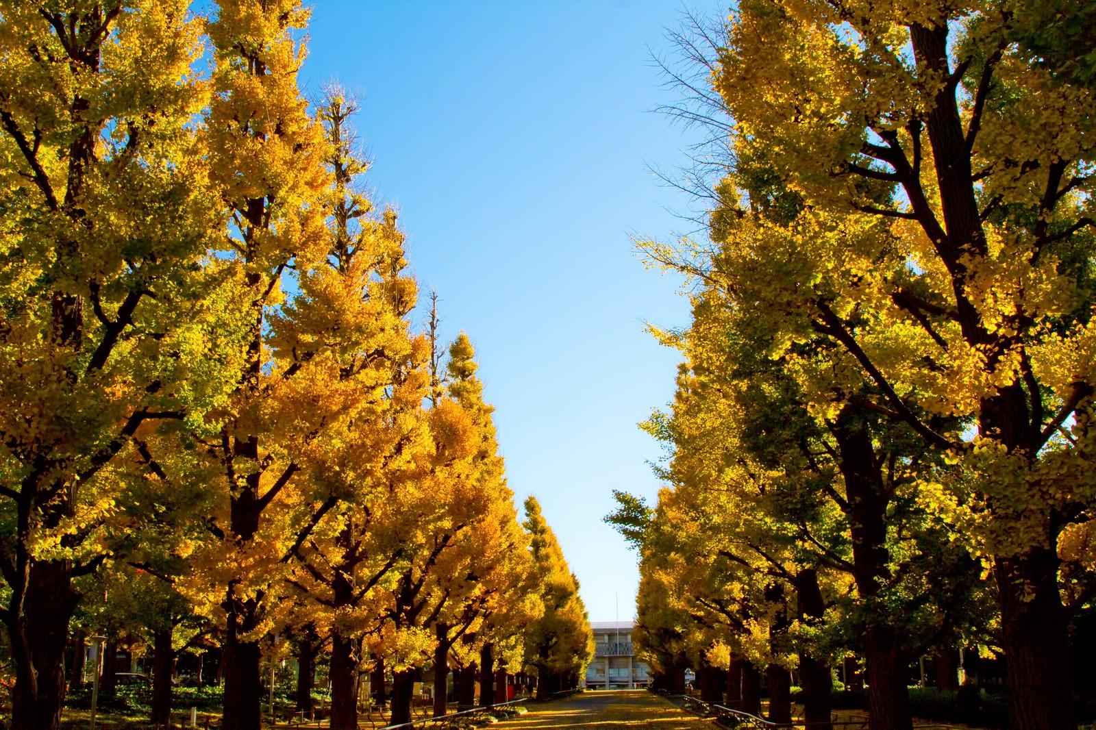 「慶応大学の黄葉した銀杏並木」の写真