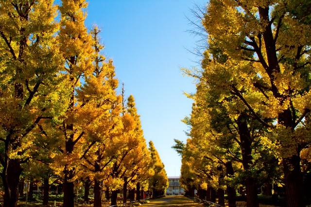慶応大学の黄葉した銀杏並木の写真