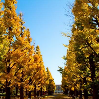 「慶応大学の紅葉した銀杏並木」の写真素材