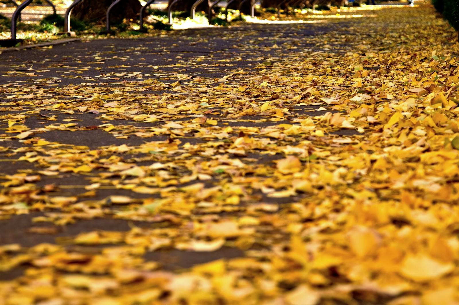 「黄葉したイチョウの落ち葉」の写真
