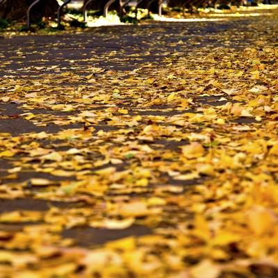 黄葉したイチョウの落ち葉の写真
