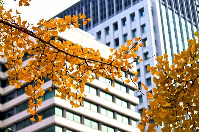 黄葉する銀杏とビルの写真