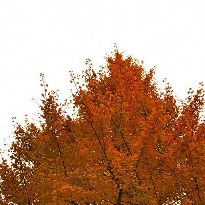オレンジ色に黄葉した木の写真