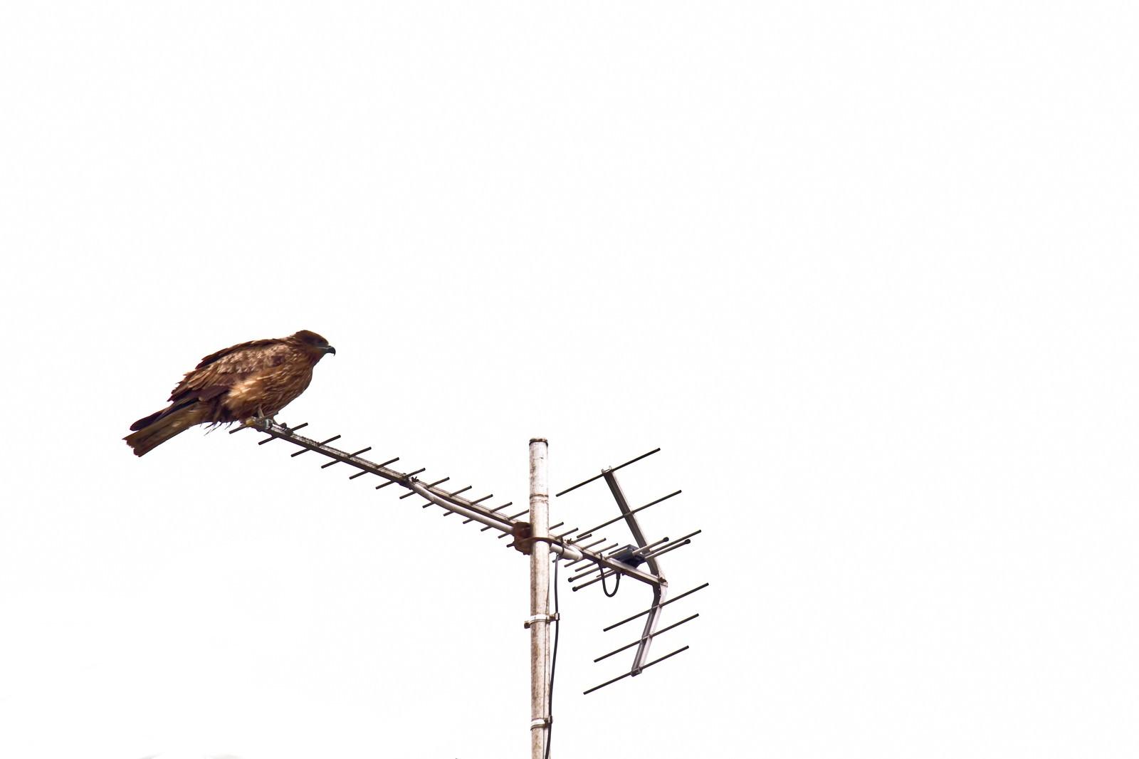 「アンテナにとまる鷹」の写真