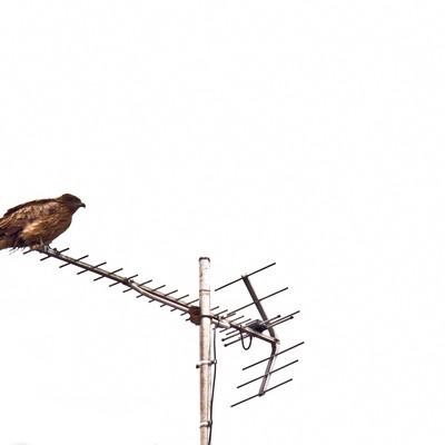 アンテナにとまる鷹の写真
