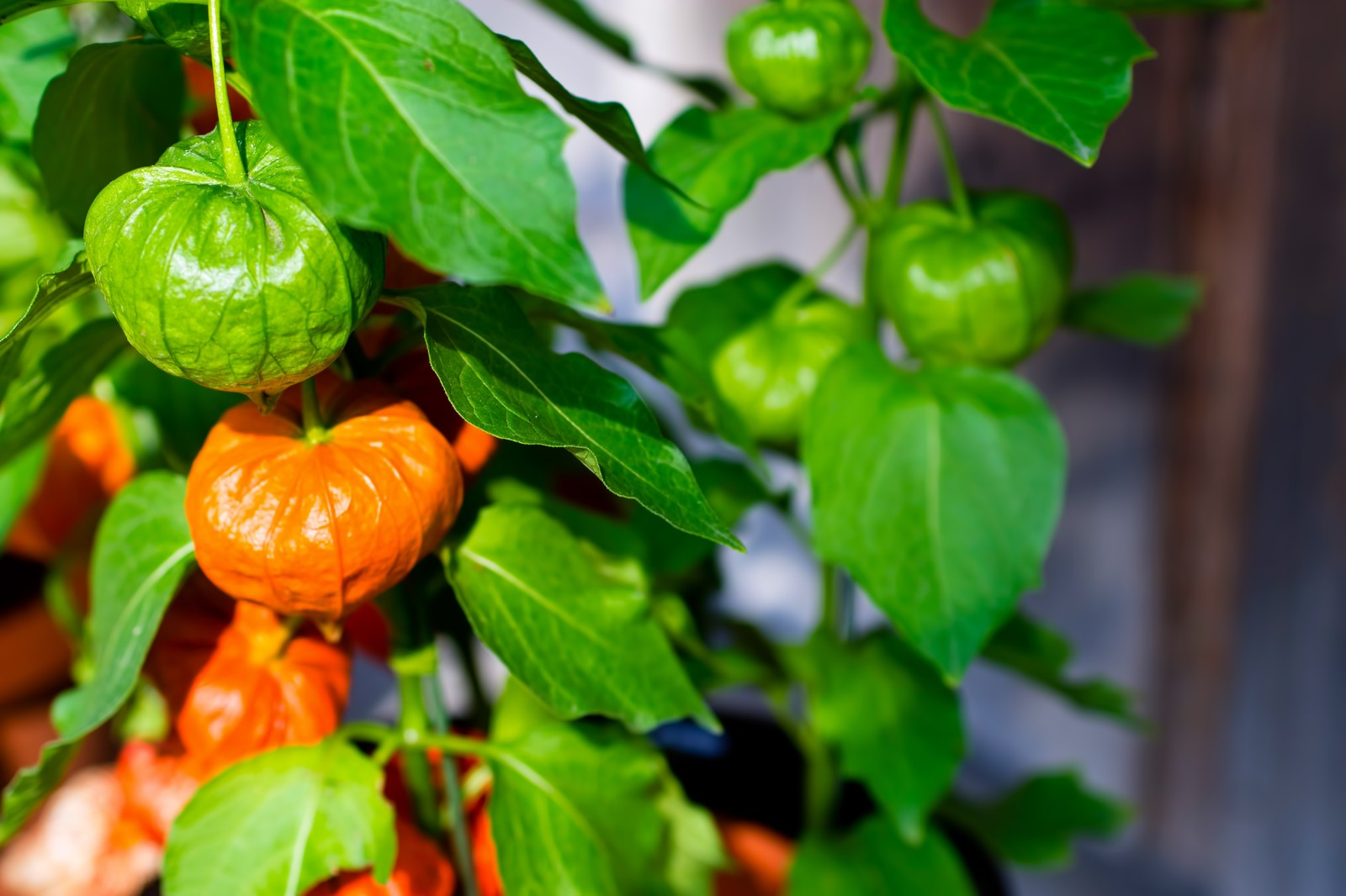 「緑とオレンジ色のほおづき」の写真