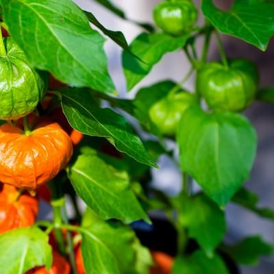 「緑とオレンジ色のほおづき」の写真素材