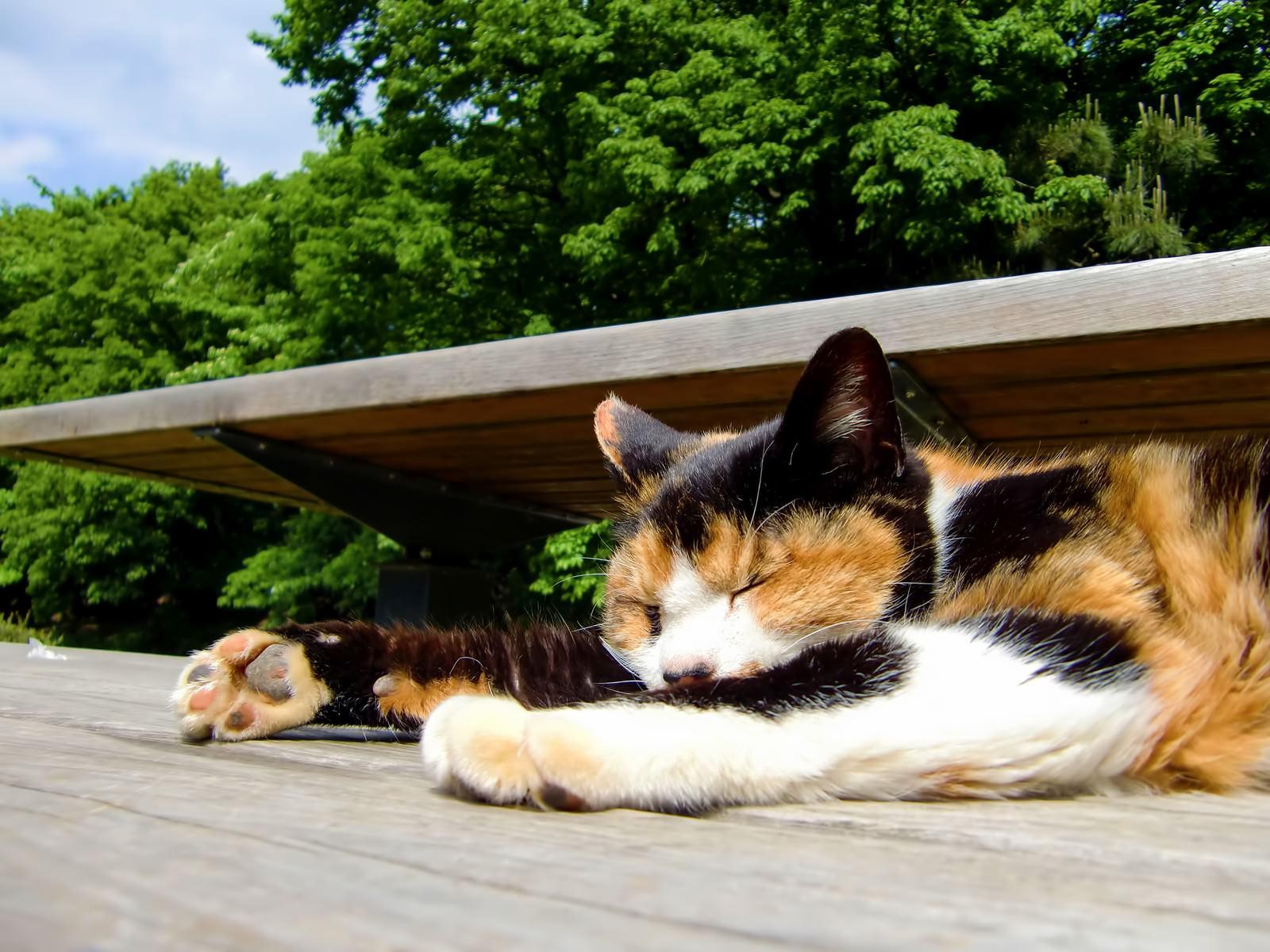 「人間のように寝る猫」の写真