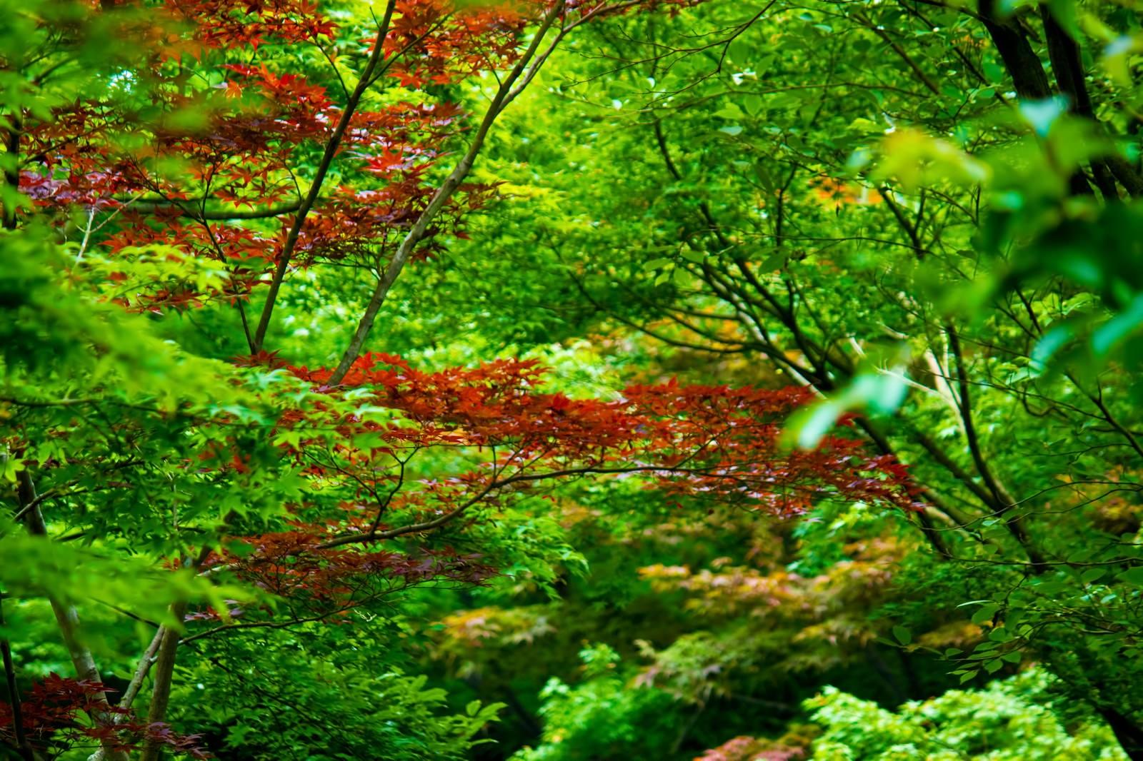 「一部が紅葉した葉」の写真