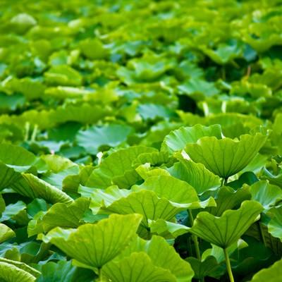 「一面に広がる蓮の葉」の写真素材