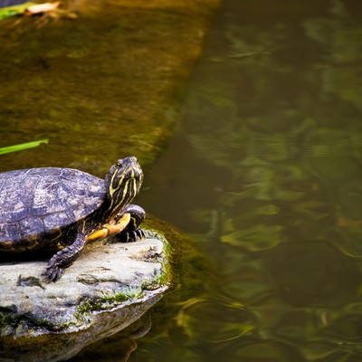 「いきり立つ亀」の写真素材
