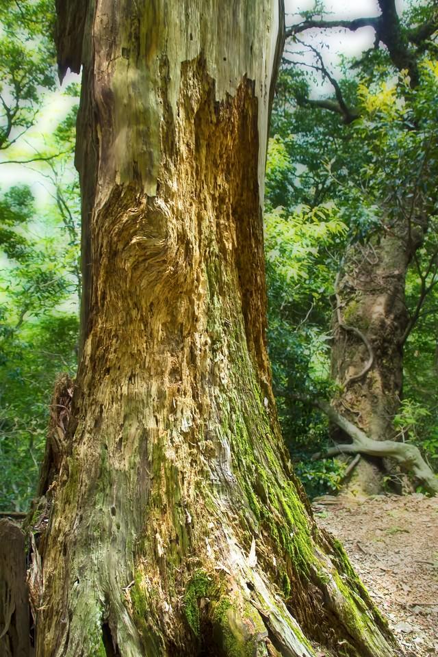 削り取られた巨木の写真