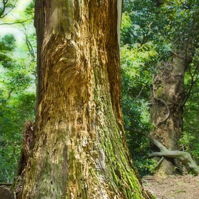 「削り取られた巨木」の写真素材