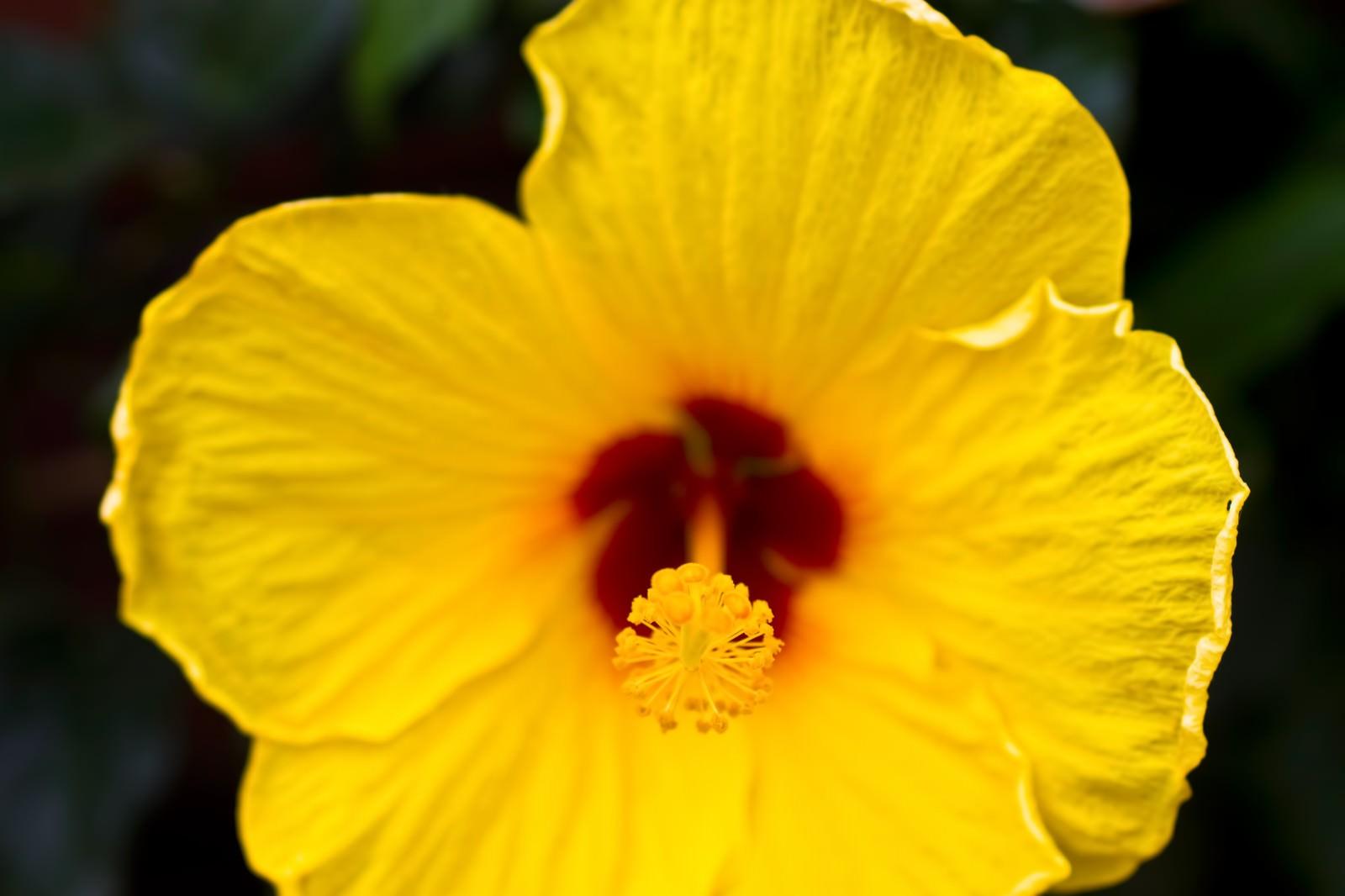 「黄色いハイビスカス」の写真