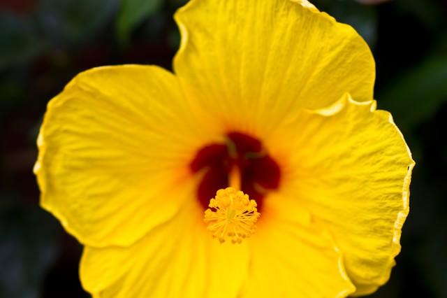 黄色いハイビスカスの写真