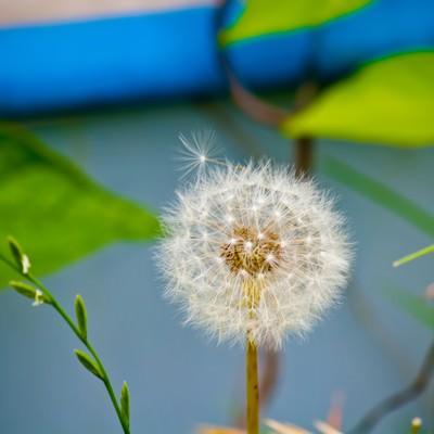 丸いわたげの写真
