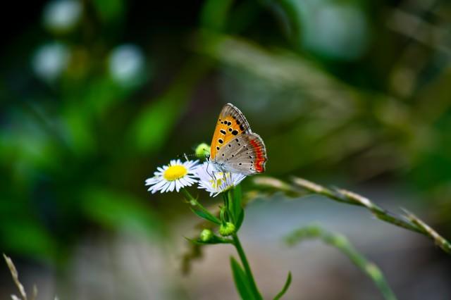 花の蜜を吸うベニシジミの写真