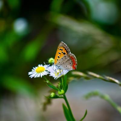 「花の蜜を吸うベニシジミ」の写真素材