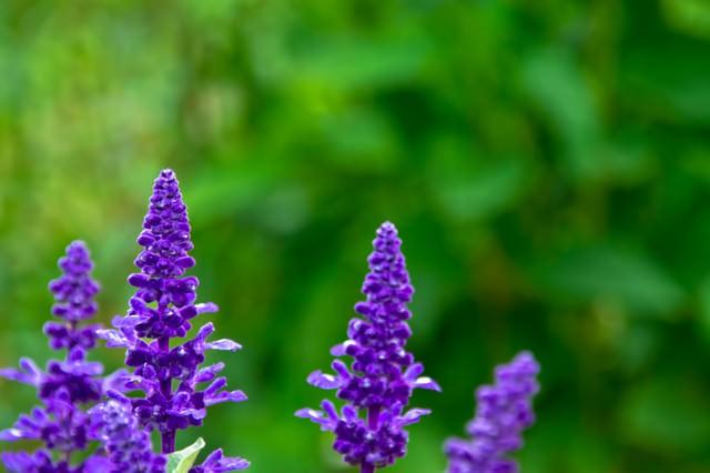紫色のベロニカの花の写真