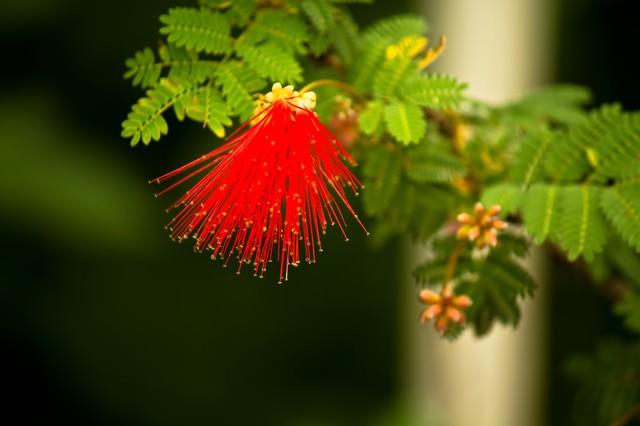オジギソウの赤い花の写真