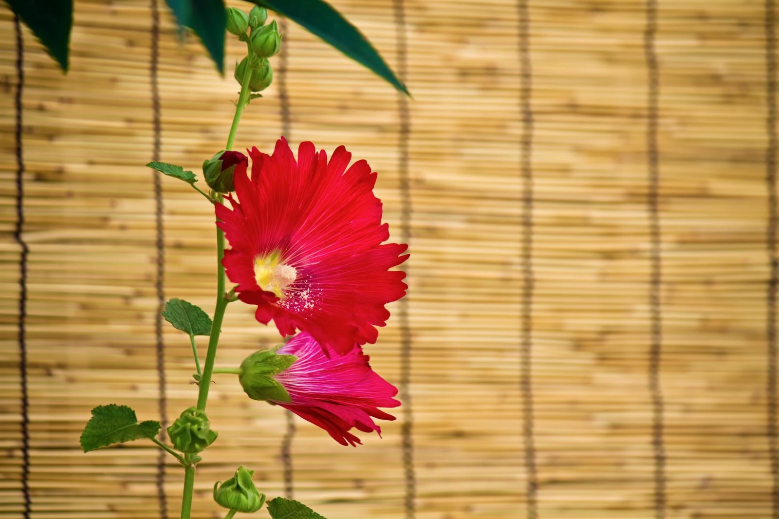 「すだれと赤い花」の写真